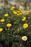 een veld met paardebloembloemen