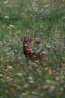 antilopen in een weiland