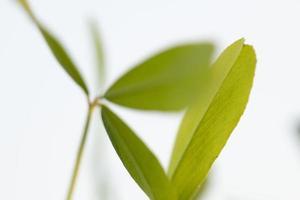 bladeren van groene alfalfaplanten