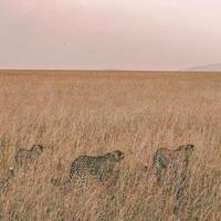 drie luipaarden mokkend in een veld