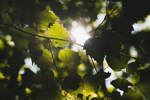 zonlicht door groene bomen