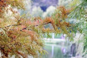 conifeertak met gekleurde bladeren in de herfst