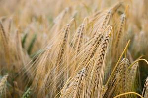 ondiepe focus van rijstkorrels in een tarweveld