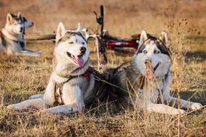 Siberische husky hond buiten foto