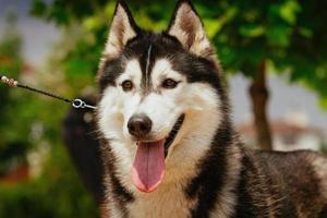 portret van een kleine husky hond.