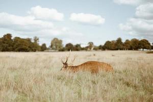 herten in hoog gras