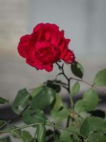 de bloesem van een roos foto