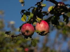 appels aan een boom foto