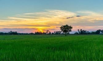 boom op het groene veld bij zonsondergang