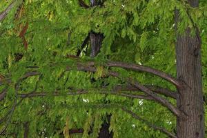 naaldboomtakken met bladeren