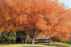 bloeiende perenboom