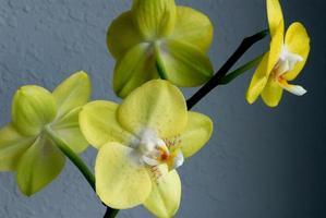 groene vanda-orchidee foto