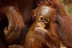 schattige baby orang-oetan. foto
