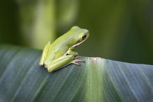 kleine alabama groene boomkikker - hyla cinerea