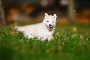 husky op groen gras foto