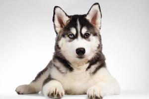 Siberische husky pup ligt op wit foto