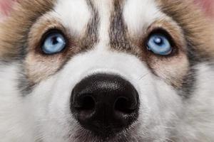 close-up blauwe ogen Siberische husky pup foto