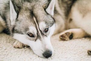 grijze volwassen siberische husky hond (sibirsky husky) foto