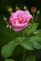 wilde roze roos