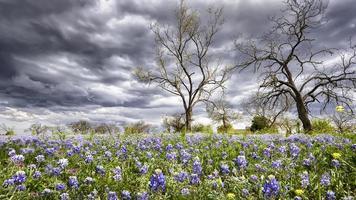 bluebonnets in het heuvelland van Texas foto