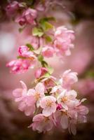 roze bloesems foto