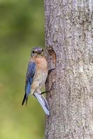oostelijke bluebird bij de nestingang