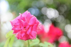 rode rozen in een zonnige tuin foto