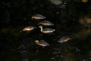 eenden die in een vijver zwemmen