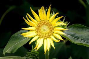 verlichte zonnebloem in een tuin foto