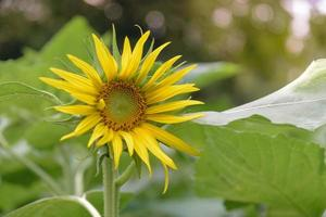 heldere zonnebloem in de tuin foto