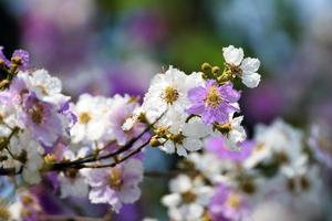 prachtige bloemen van perzikboom in het voorjaar foto