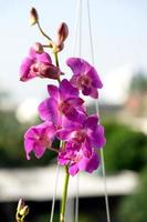 Thaise paarse orchidee