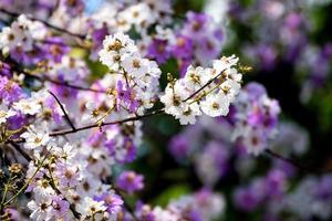 bloemen van perzikboom in het voorjaar foto