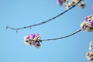 bloemen van een perzikboom in de lente foto