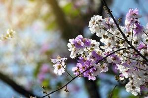 bloemen van perzikboom in de lente foto