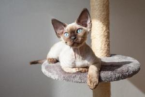 kat met blauwe ogen zittend op de krabpaal foto