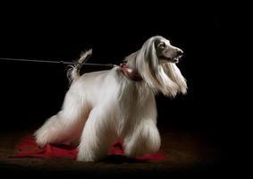 afghaanse hond binnenshuis foto