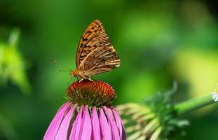 parelmoervlinder vlinder op een paarse zonnehoed foto