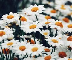 close-up van daisy veld