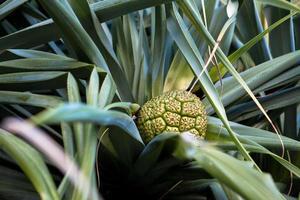 close-up van een ananasplant