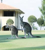 Sydney, Australië, 2020 - Een weergave van een moeder en een babykangoeroe in een veld foto