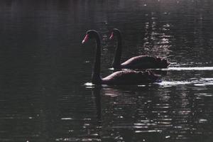 zwarte zwanen op donker water foto