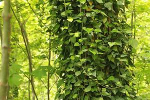 close-up van klimop groeit op een boom