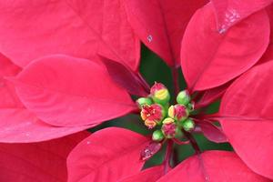 rode poinsettia bloem