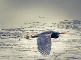 blauwe reiger tijdens de vlucht foto