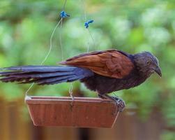 bruine en zwarte vogel op een vogelvoeder