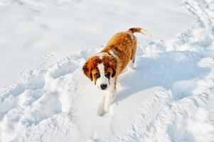st bernard hond