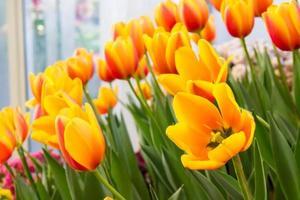 tweekleurige kleurrijke tulp