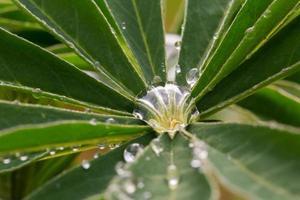 tropfen in het lupinenblatt