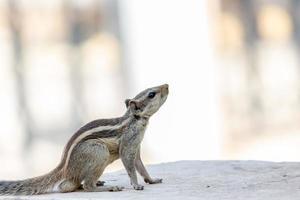 close-up van een eekhoorn op beton